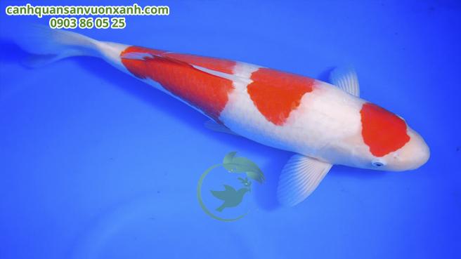 Kohaku là một trong những loại cá phổ biến nhất