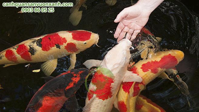 thức ăn cho cá Koi