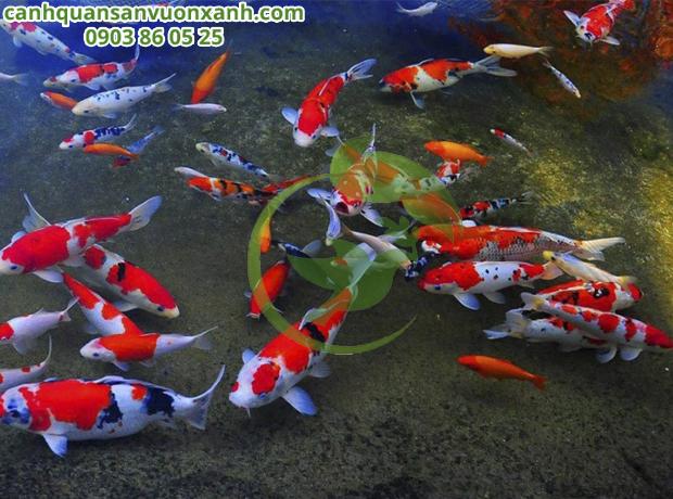 Hồ cá Koi bị xanh