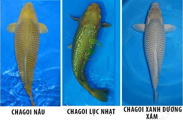 ca-chagoi