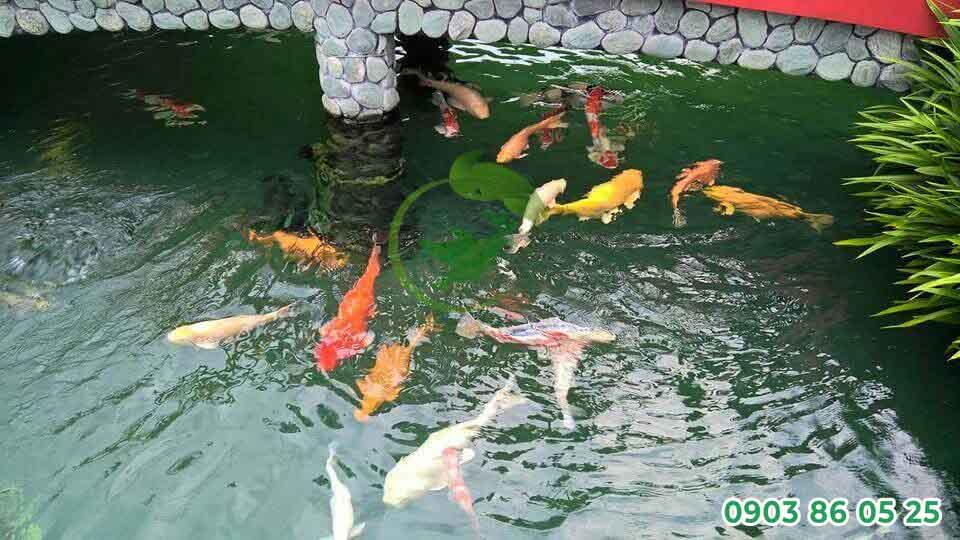 chat-luong-nuoc-anh-huong-toi-su-phat-trien-cua-ca-koi