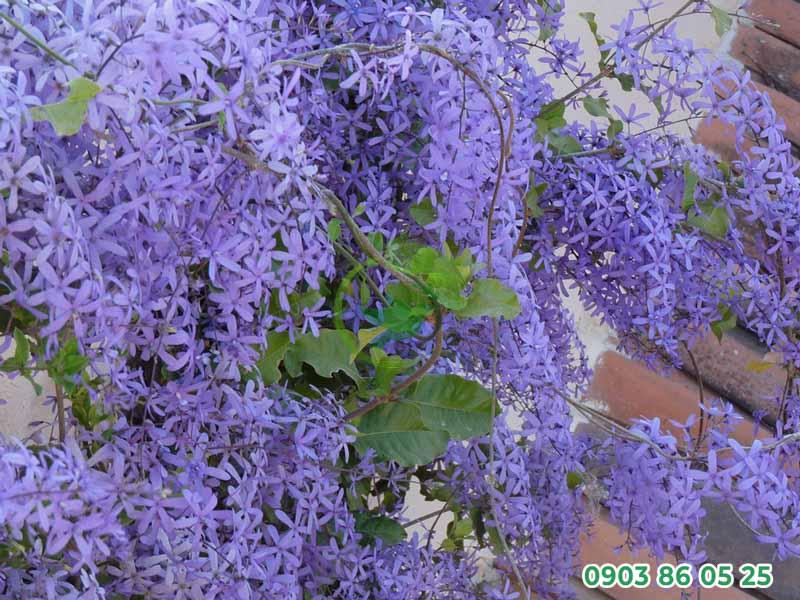 hoa-mai-xanh